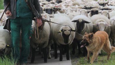 Mehr Geld für Herdenschutz in Sachsen-Anhalt